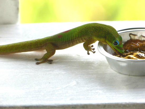 Captain Cook, HI: Gecko on the railing