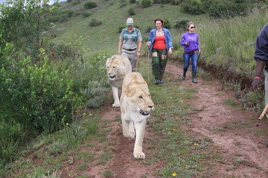 Mosselbaai, Zuid-Afrika: walking with lions