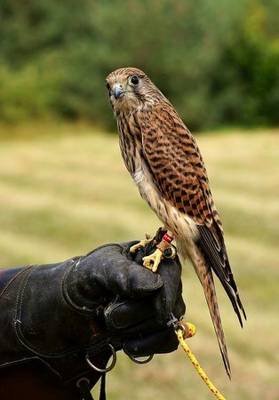 Tamworth, UK: Falconry also available please phone 0121 308 1951 for halk walks etc etc