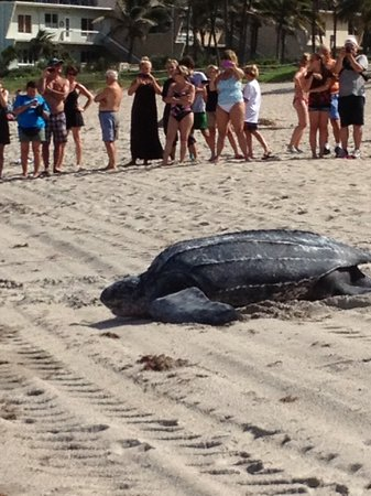 Carriage House Resort Motel: Leatherback after laying her eggs in Deerfield Beach