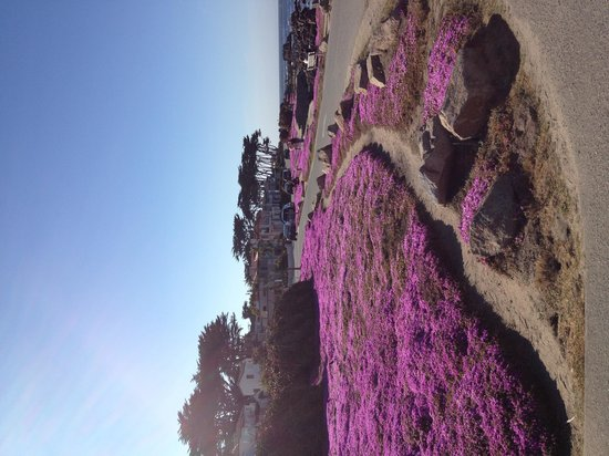 Martine Inn: Ocean front ground cover in bloom!!