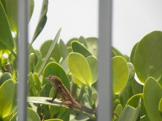 Sand Cay Beach Resort: Leapin' lizards - there are a lot in Florida