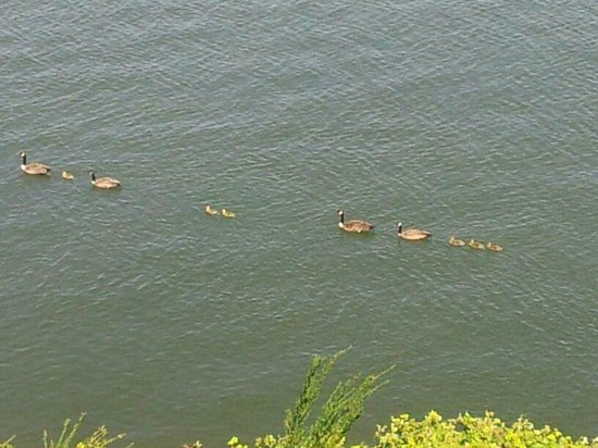Red Lion Hotel on the River - Jantzen Beach: Made my entire trip, looked out the window and saw this duck parade.