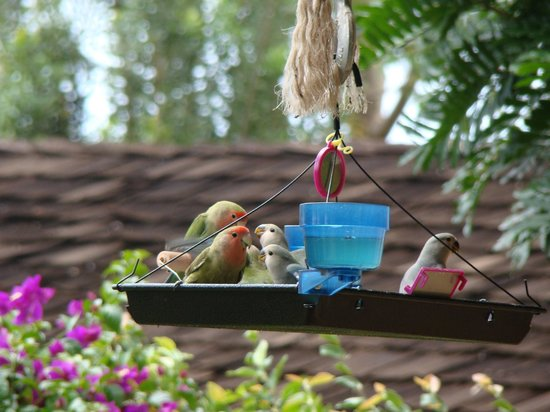 Hale Huanani Bed and Breakfast: Beautiful lovebirds at the fully stocked bird feeder!