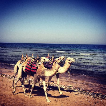 Dahab Paradise: Camels on the beach just by the hotel