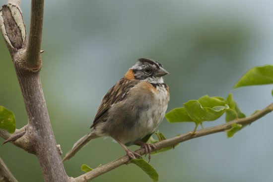 Arenal Volcano Inn: Rufous Collared Sparrow