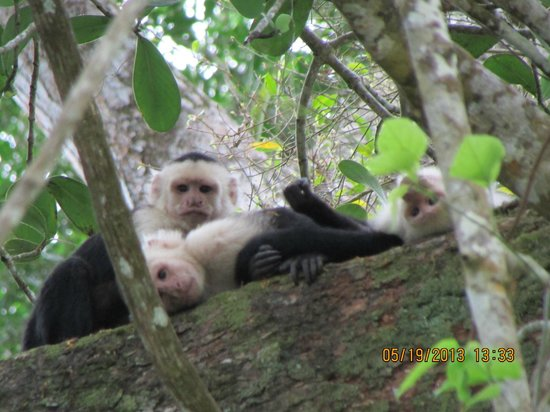 Nuevo Arenal, Costa Rica: White Faced Monkeys