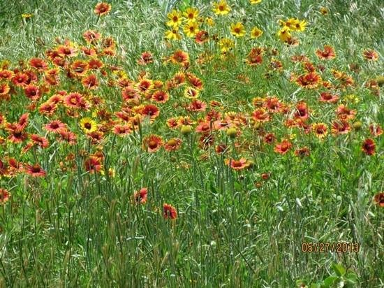 Holiday Inn Express Suites Lawton Fort Sill: Wildflowers in the nearby Wichita Mountains