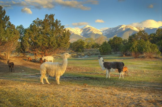 Mountain Goat Lodge: Lovely llama alpaca and mountain view