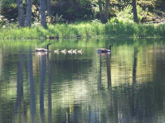 Ocean Gate Resort: duck family at the fishing pond