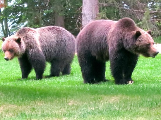 Grizzly Bears Near Jasper House Bungalows Picture Of Jasper House Bungalows Jasper National