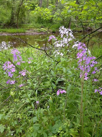 The Lightner Farmhouse: Wild phlox and the White Run on the nature walk