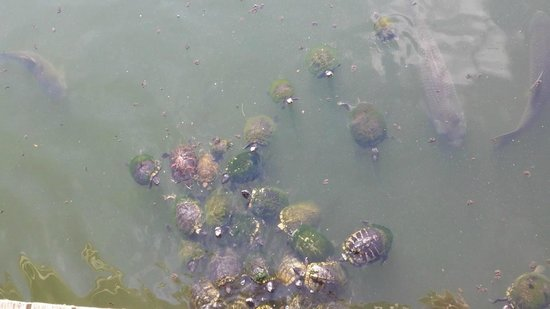 North Beach Plantation: Barefoot Landing Turtles and Fish