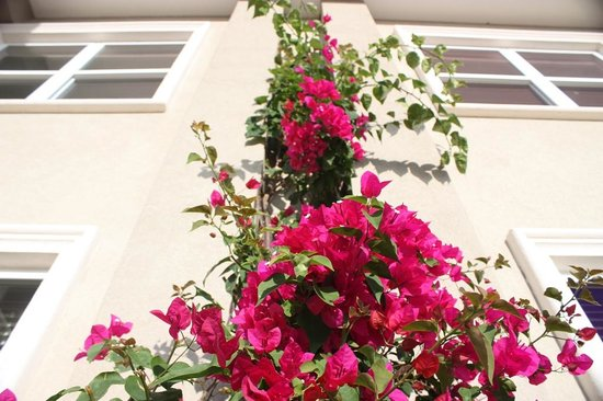 The Alexander Hotel: Bougainvillea growing up the side of the hotel