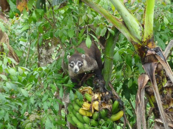 Finca Luna Nueva Lodge: We saw this guy eating banana's just off our front porch.