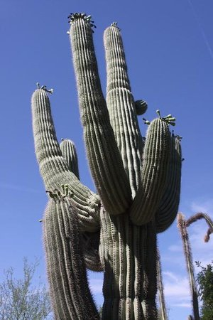 Desert Botanical Garden: Tree hugging not recommended