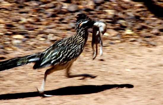 Desert Botanical Garden: Roadrunner with take-out lunch