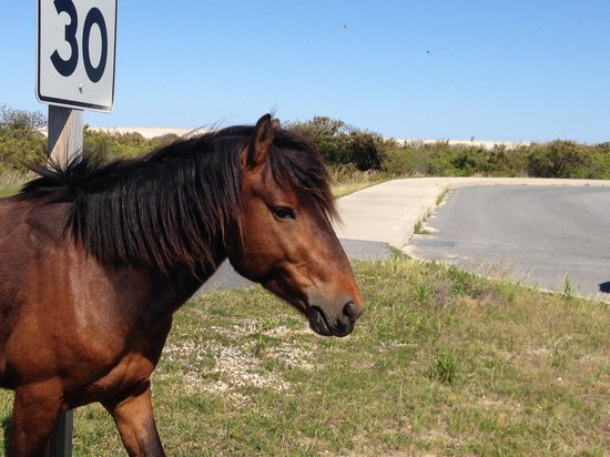 Maryland: Traveling wild bay pony