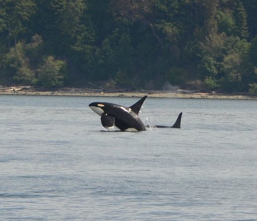 San Juan Islands, WA: Orca breeching!