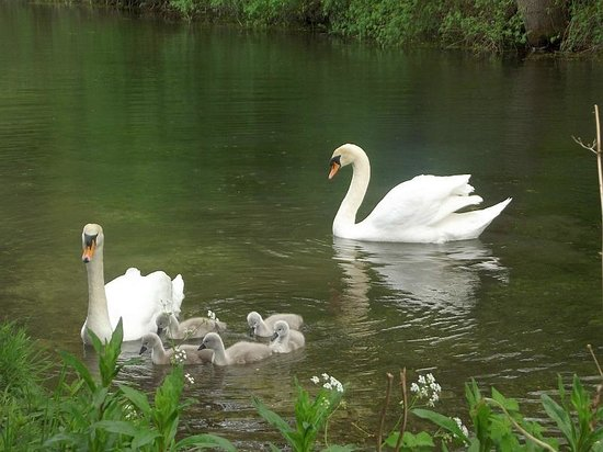 Surrey, UK : swan family