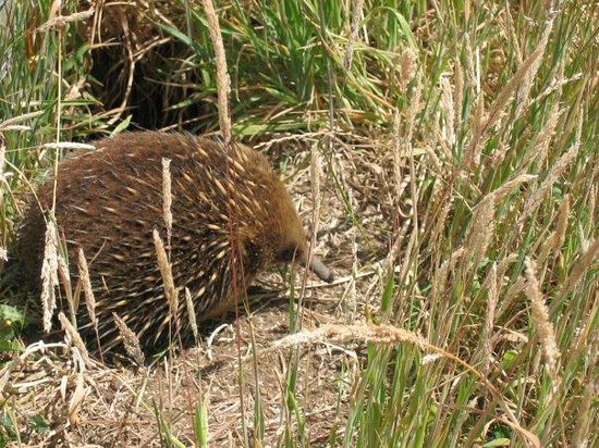 Ross, Australien: Local wildlife - Echidna
