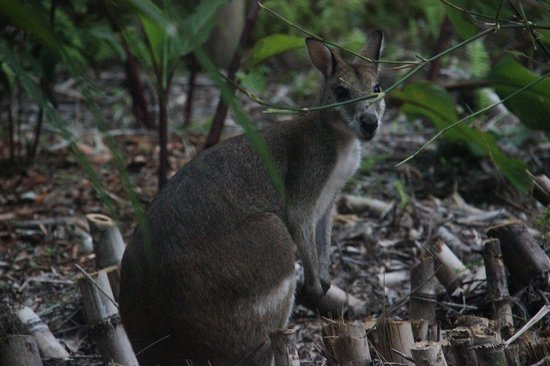 Kewarra Beach Resort & Spa : resident wallaby