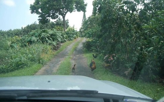 Aloha Guest House : Wild Chickens on the way to B&B