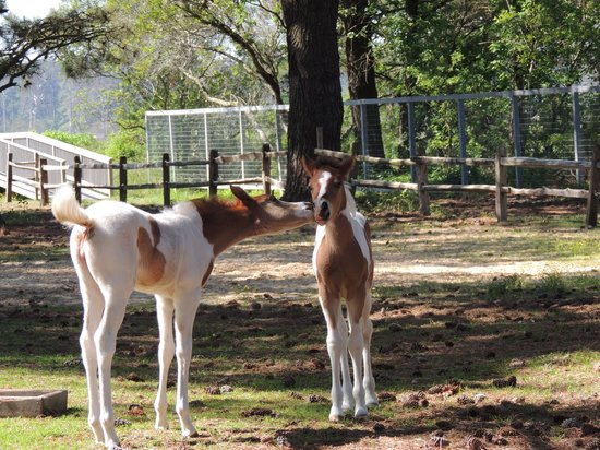 Refuge Inn: Kissing foals