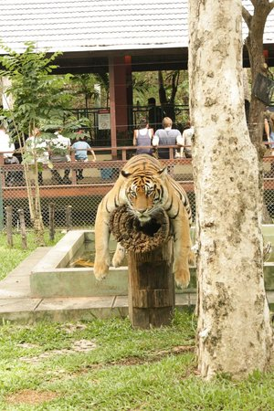 Mae Rim, Thailand: Tiger lazing about
