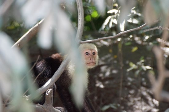 Provincia de Puntarenas, Costa Rica: White-faced Monkey
