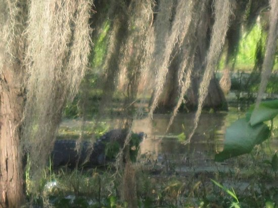 Breaux Bridge, LA: One of two gators we spotted on the actual swamp tour.