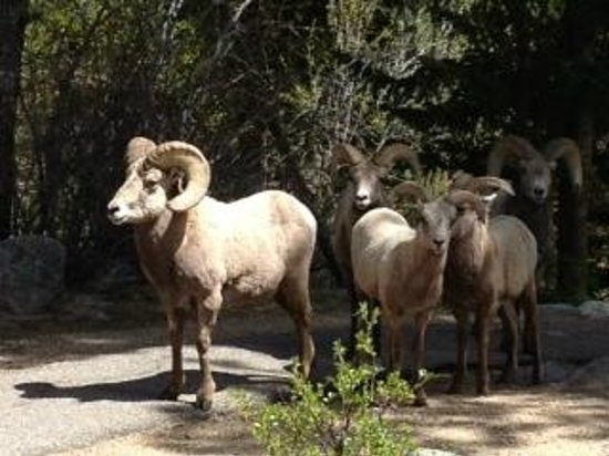 Stonebrook Resort : Bighorn sheep at Rocky Mountain National Park