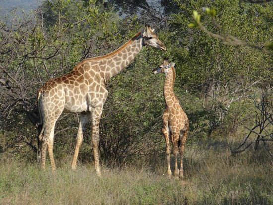 Naledi Bushcamp and Enkoveni Camp: Giraffes on a game drive