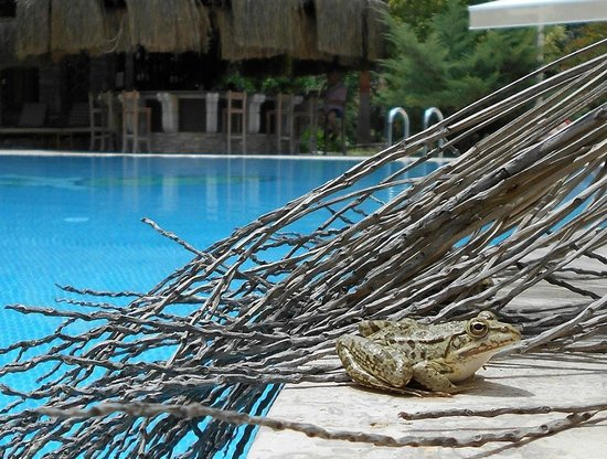 One Of The Swimming Pool 39 S Guests There Were Four Frogs