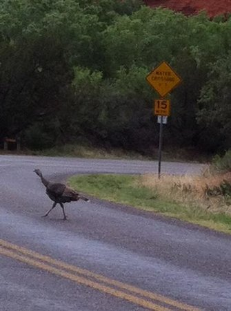 Canyon, TX: Wild turkey by the campground.