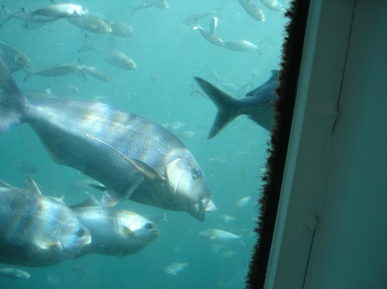 Port Lincoln, Australie : blue morwong