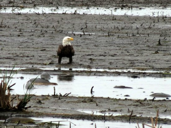 Seneca Falls, NY: Bald Eagle eyeing the dying fish