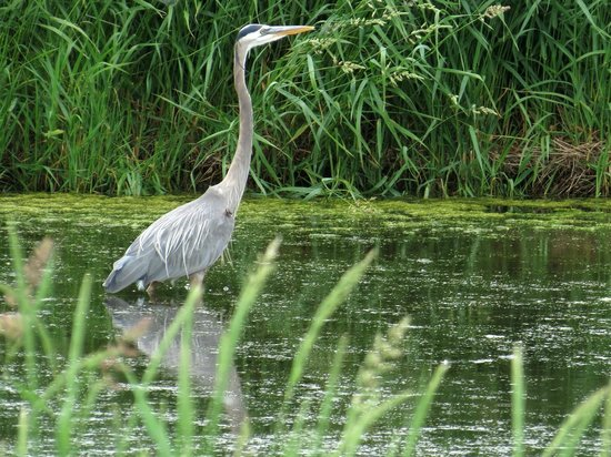Seneca Falls, NY: Blue Heron in the reeds