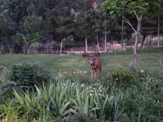 Cliffrose Lodge & Gardens: More deer