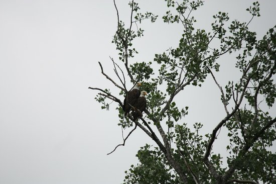 Skaneateles, NY: Bald Eagles on the Canal
