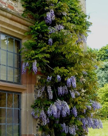 Henley-on-Thames, UK: Wisteria ourside house