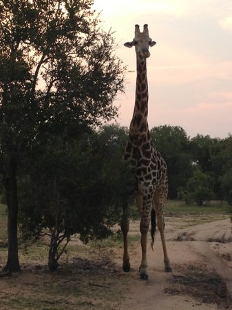 ‪‪Lukimbi Safari Lodge‬: Inquisitive giraffe‬