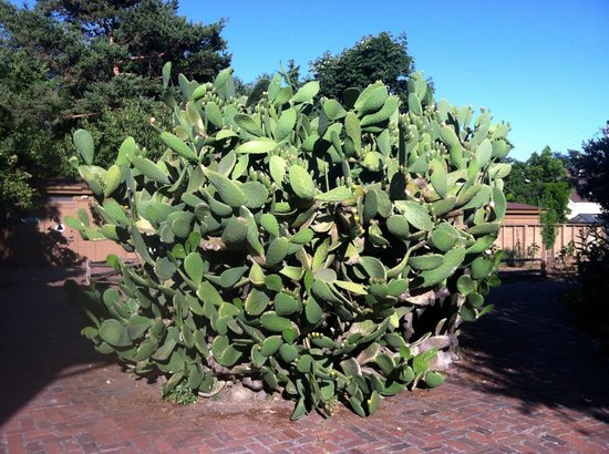 Huge Spineless Cactus Picture Of Luther Burbank Home And