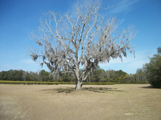 Wadmalaw Island, SC: In March the trees are starting to wake up