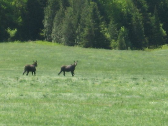 West Glover, VT: looking out our dining room window, moose running through our fields