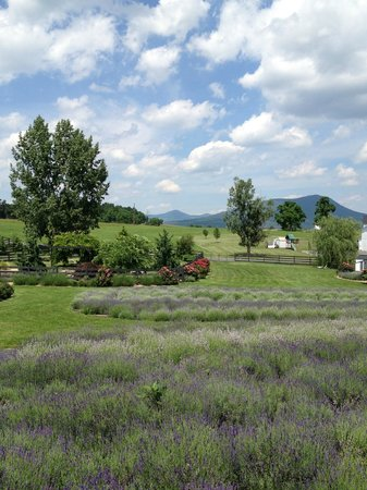 Harrisonburg, VA: White Oak Lavender Farm