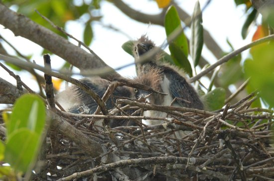 Everglades City, FL: Baby Tri-Colored Herons