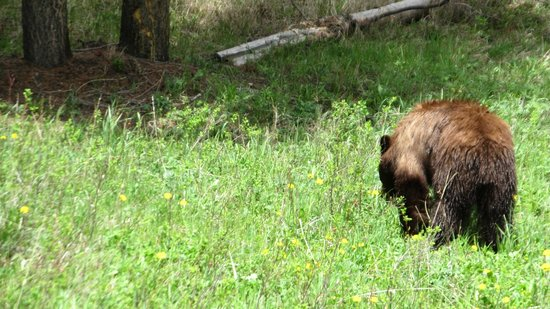 The Cody Hotel: Bears are within driving range