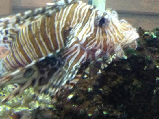 Norwalk, CT: Lionfish