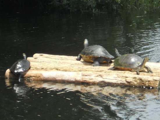 Homosassa Springs, FL: Turtles in the creek